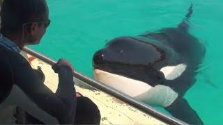 仏アンティーブの水族館で飼育されている16歳の雌シャチ「ウィキー」は、「ハロー」や「バイバイ」など人間の言葉を模倣する初のシャチと見ら...