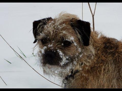 Dog Snow Face plant,  Nieve Perro Planta Cara, Neu Gos Planta Cara