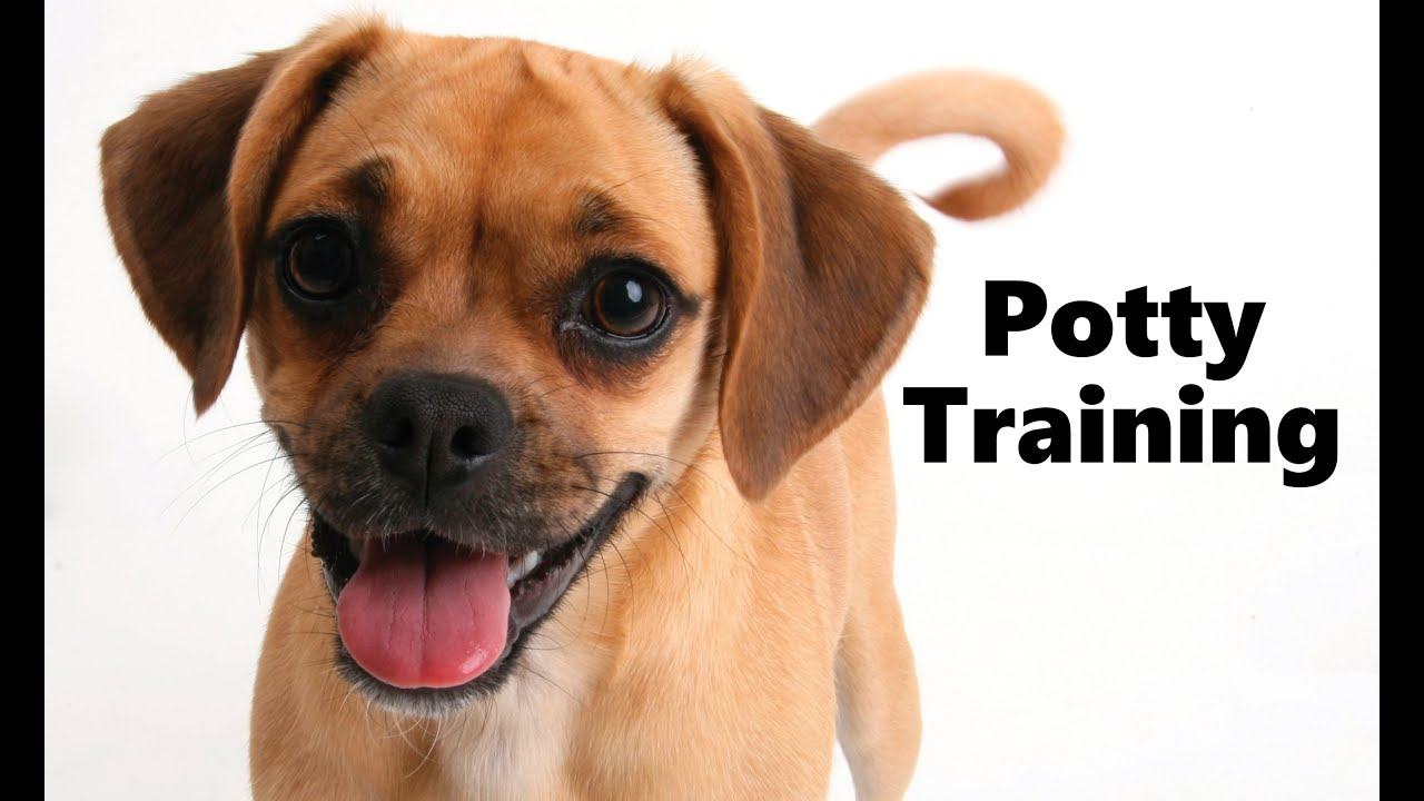 how to potty train a puggle puppy - puggle house training tips
