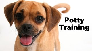 How To Potty Train A Puggle Puppy - Puggle House Training Tips - Housebreaking Puggle Puppies Fast