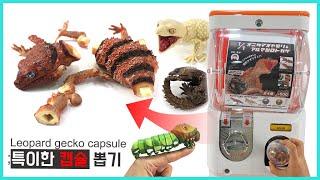 특이한 레오파드 게코 캡슐뽑기ㅋㅋleopard gecko capsule review