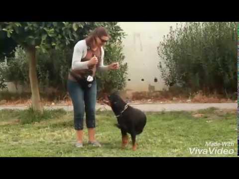 dressage de chien tunisie Rottweiler obéissance - YouTube