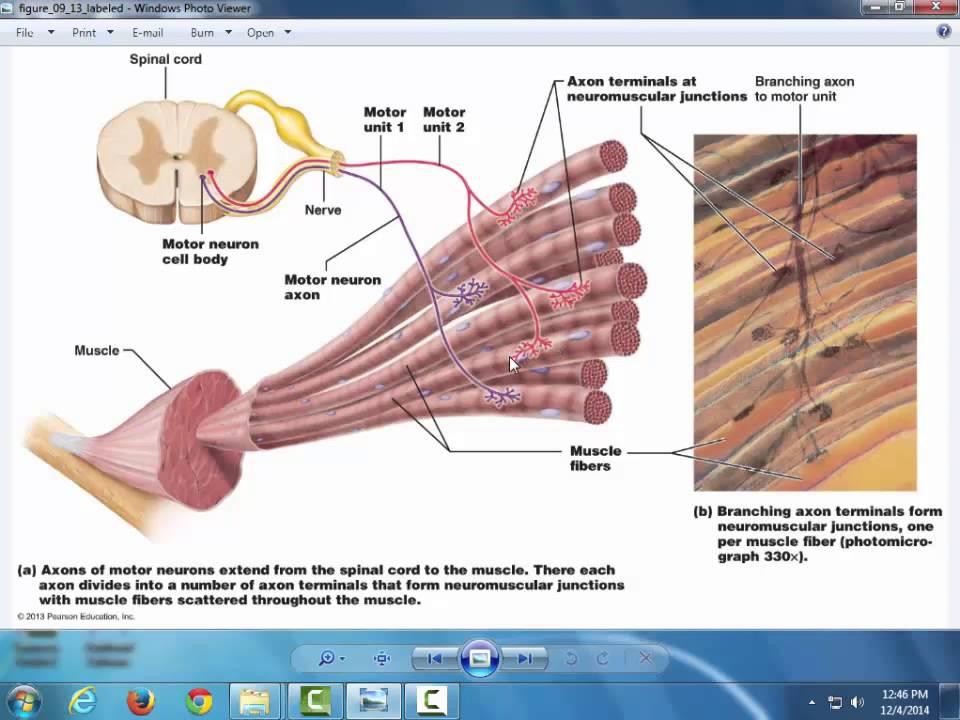 Muscle Physiology - YouTube