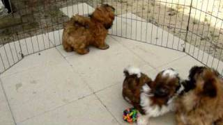 Shih Tzu Puppies Having A Good Time!
