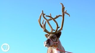 Why Reindeer and Their Cousins are Total Boneheads | Deep Look