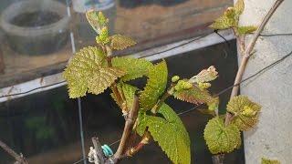 Защита винограда после распускания глазков