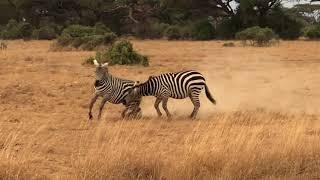 Zebry w zalotach czyli...końskie zaloty - Amboseli National Park - Kenia - Afryka