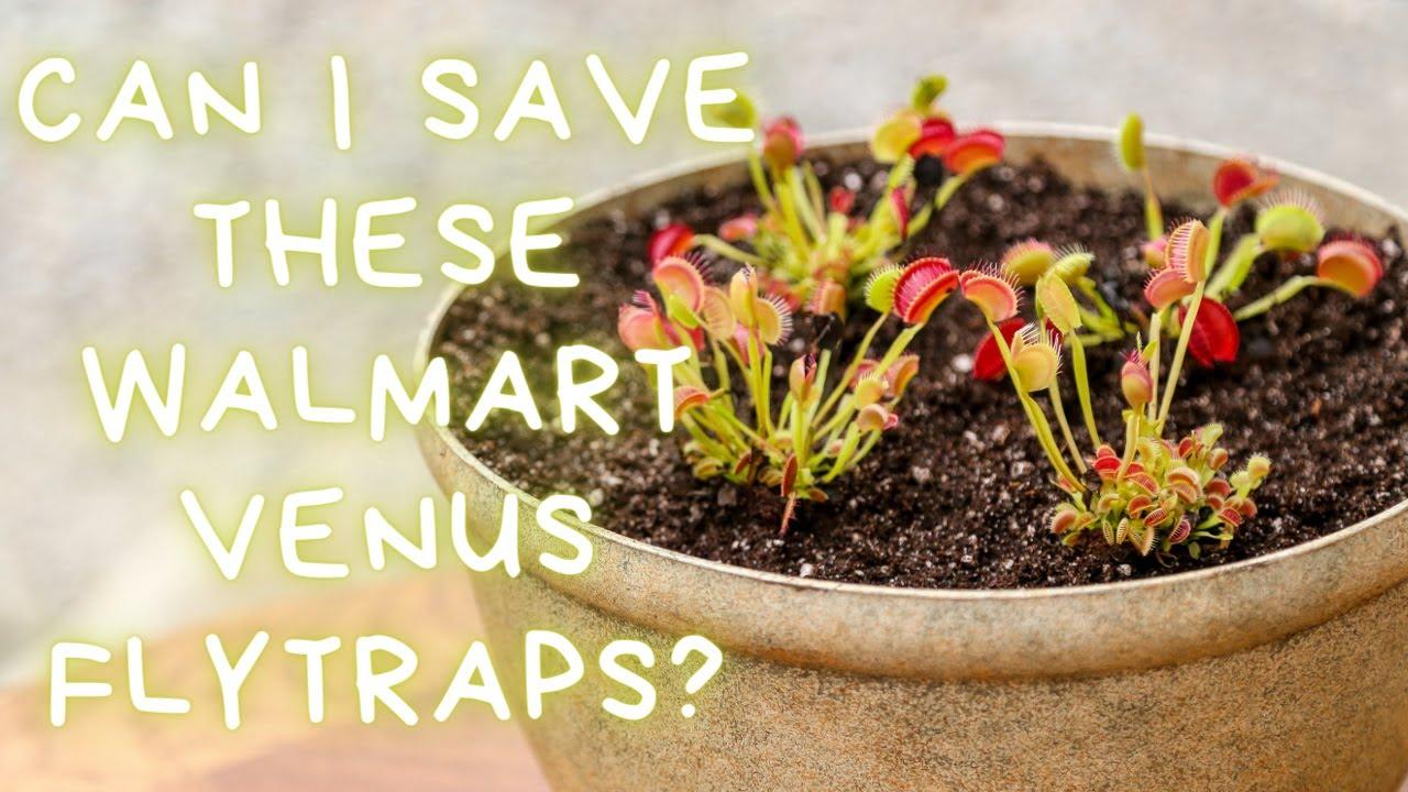Download Walmart Venus Flytrap Haul: Walmart Venus Flytrap Death Cube Rescue Repotting Walmart Venus Flytrap