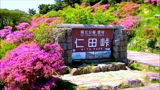 雲仙国立公園「仁田峠のミヤマキリシマ」