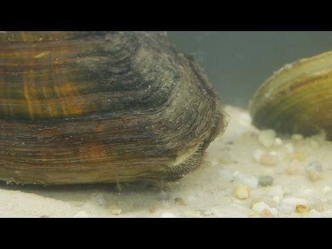 Anodonta cygnea / Teichmuschel / Swan Mussel