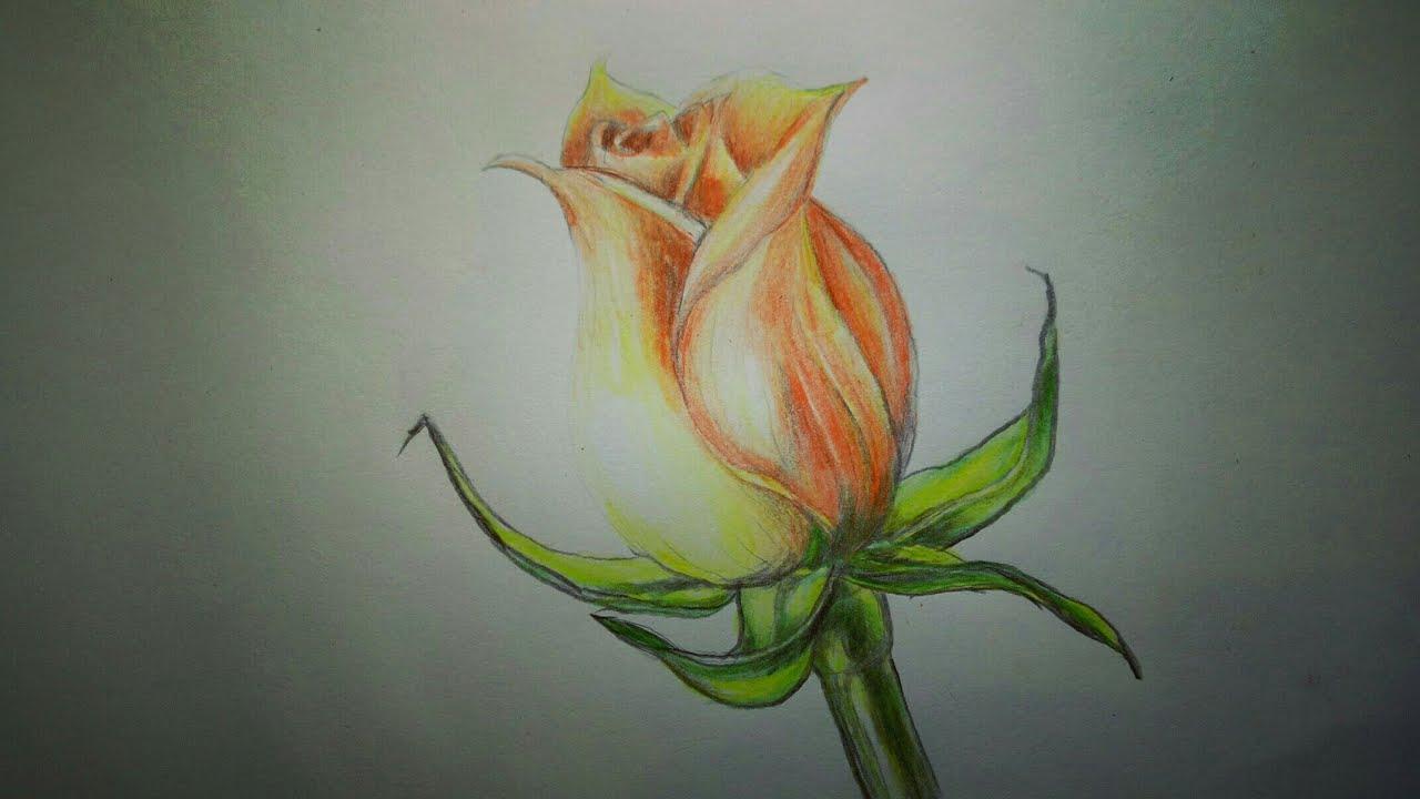 Menggambar Bunga Mawar Dengan Pensil Warna Youtube