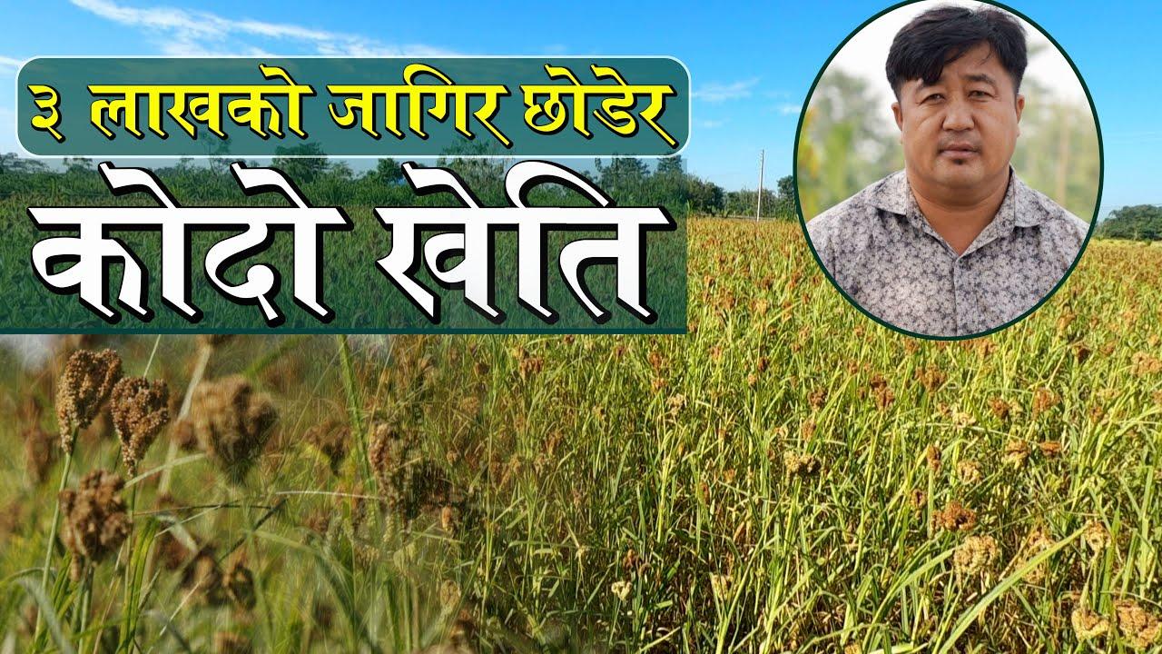 Download ३ लाखको जागिर छोडेर कोदो खेति    Millet Farming    Kodo Kheti in Nepal    Wave Nepal