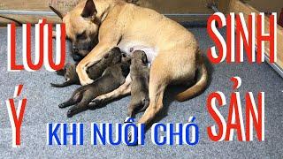 Bài học xương máu khi nuôi Chó Phú Quốc Sinh Sản /Nguyễn Mạnh Hùng Life TV