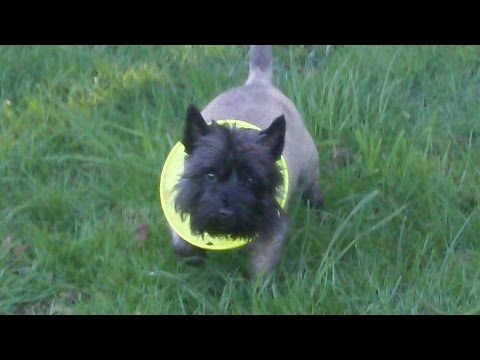 Cairn Terrier Billy Boy.