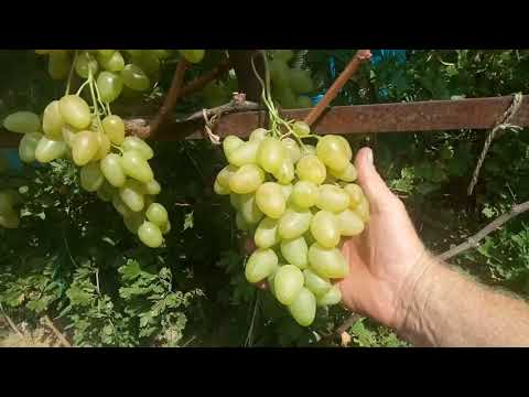 Лучший виноград Монарх 2018 год.