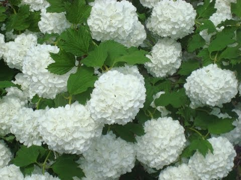 Как называется растение с белыми шариками