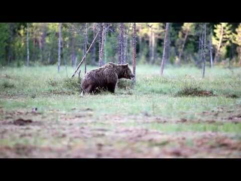 Brown Bear Watching In Suomussalmi Finland