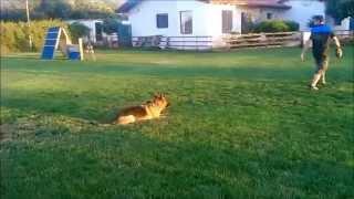 German Shepherd Show Lines Obedience Training