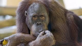 Потому что нельзя быть на свете гориллой такой.