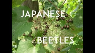 How to Fix your Japanese Beetle Problem