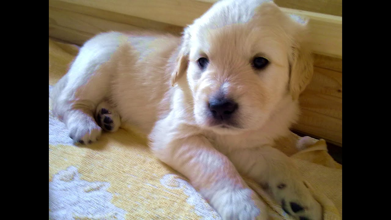 Weisse Golden Retriever Welpen White Golden Retriever Puppy Youtube