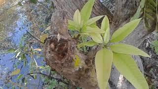แจกสูตรทำมะม่วงออกดอกตามลำต้นและกิ่งง่ายๆสไตค์สวนทองคลี่