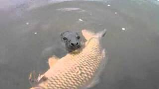 SEAL EATS BIG CARP - as reported by Angler's Mail magazine