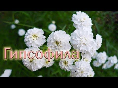 Цветет гипсофила в цветнике
