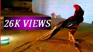 Indian parrot beak dark java long tail Aseel Rooster Breed