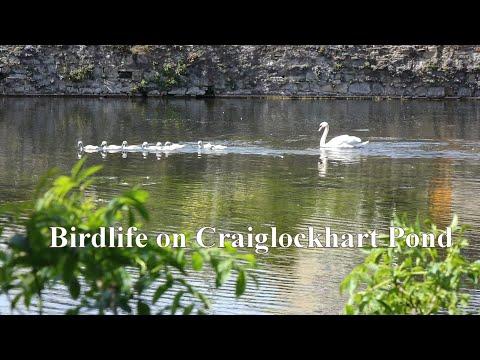 Birdlife On Craiglockhart Pond, Edinburgh, May/June 2020