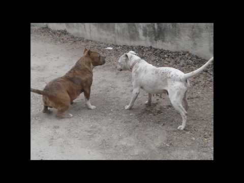 MORALES TEXAS BULLYS and Pitbulls