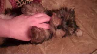 Jingle Bells The Yorkshire Terrier   Houston Texas   Available  Yorkie Puppy * We Ship
