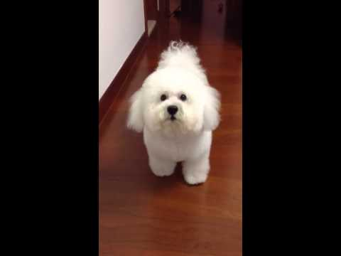 Bichon Frise is angry