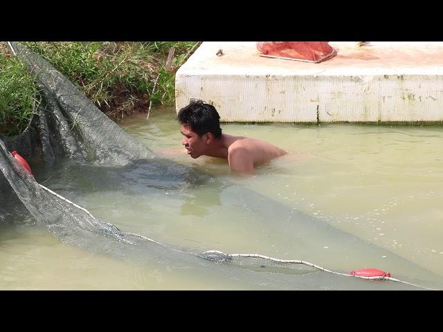 Hàng Triệu Con Cá Lăng Được Vây Bắt Bằng Lưới
