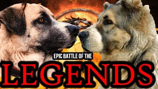 Kangal vs Alabai | Kangal vs Central Asian Shepherd | Battle of the Legends | Billa Boyka |