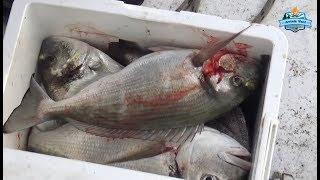Bodrum'da Spin ile Dev Balıklar Yakaladık!! Oltaya Dikkat!!
