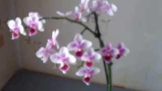 видео Вянут цветы орхидей. Каковы причины?