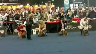 World Dog Show 2012 /wds2012/ Yorkshire Terrier Male Champion Class