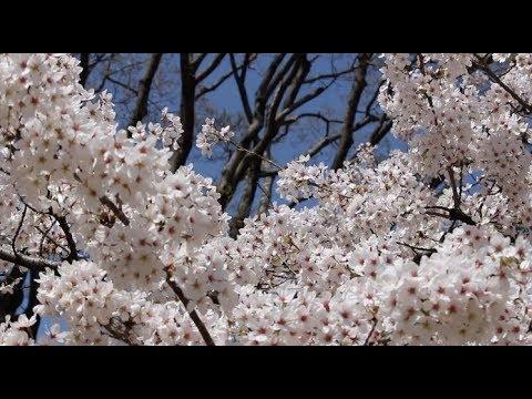 京都市動物園の桜 Cherry blossoms at the Kyoto City Zoo