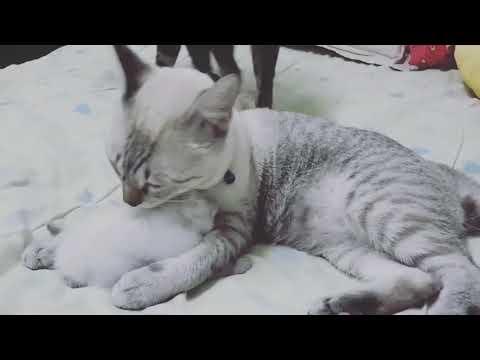 parsian Siamese kitten