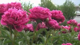 Вырастить пион из семян вполне реально(В программе советы агронома Татьяны Быкановой о том, как вырастить на вашем садовом участке роскошные пион..., 2013-07-31T08:18:25.000Z)