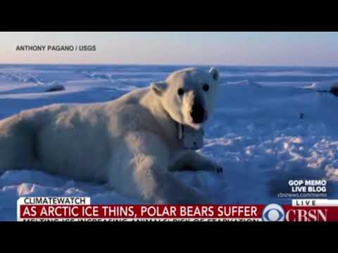 Polar bears struggle as Arctic ice melts