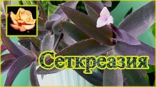 Как ещё можно размножать сеткреазию. Комнатные растения.