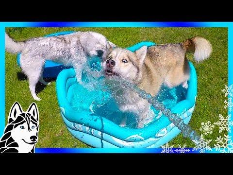 husky-splash-day-|-siberian-husky-pool-party-time