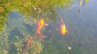 171#. Karmienie ryb jesienią.