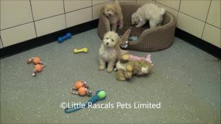 Little Rascals Uk Breeders New Litter Of Apricot Poodles