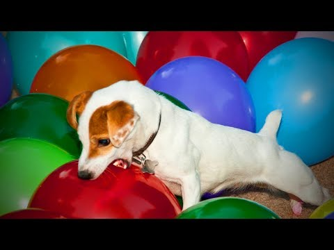 Cats and Dogs Vs. Balloons 🐱🐶 Funny Cats and Dogs Playing Balloons(Part 2) [Funny Pets]