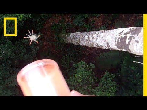 Flying Spiders: See Them in Action | National Geographic