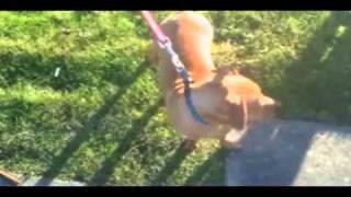 Adopted:rusty-chihuahua/dachshund Mix
