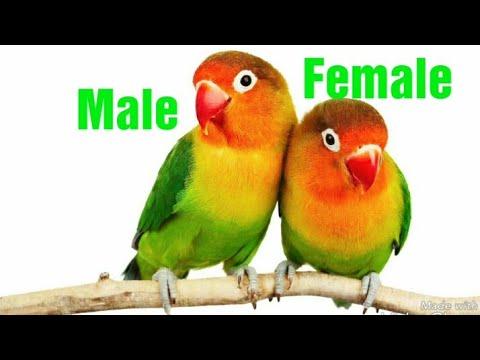 Lovebird Mein Male & Female ka Difference in Urdu / Hindi